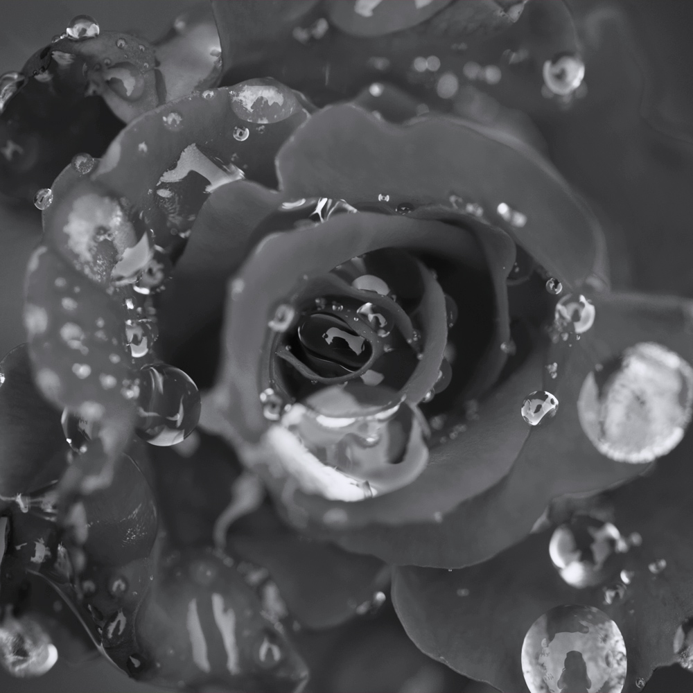 ©lindseybaumsteiger_fineart_dew drops on red rose.JPG