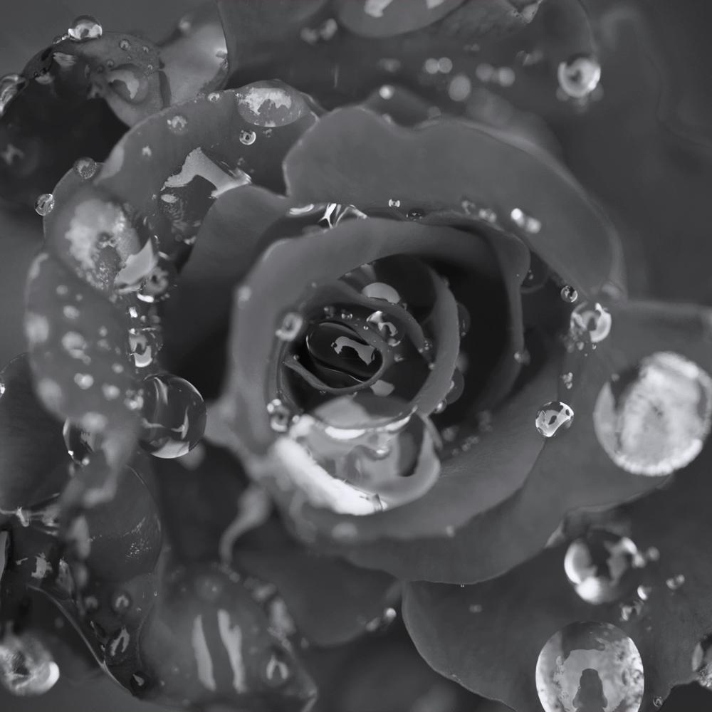 ©lindseybaumsteiger_fineart_dew drops on red rose.JPG