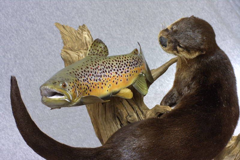 River otter with brown trout
