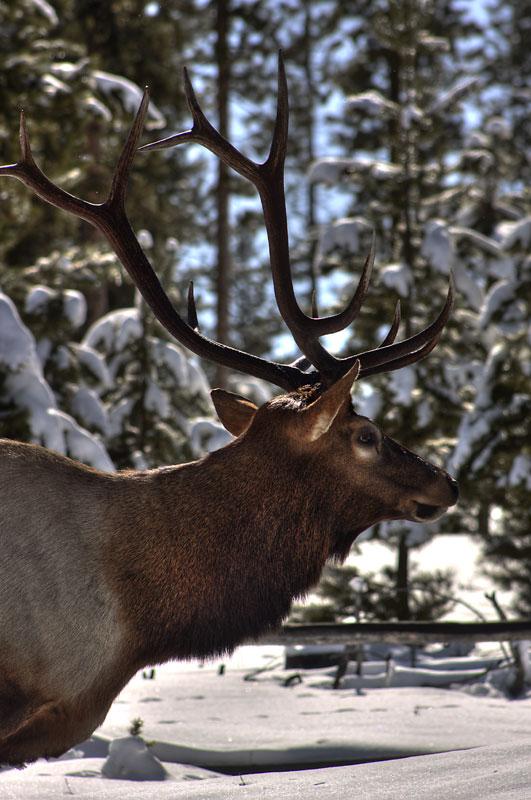Semi sneak elk