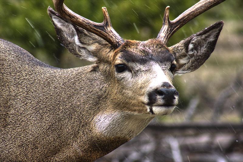 Full sneak mule deer