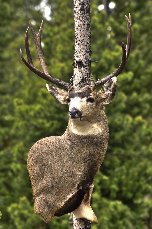 Wall pedestal mule deer with extra leg