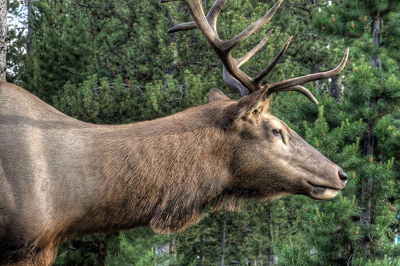 Full Sneak Elk