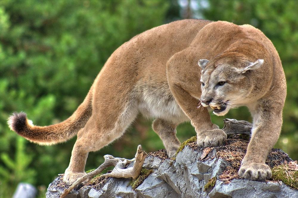 Stalking mountain lion