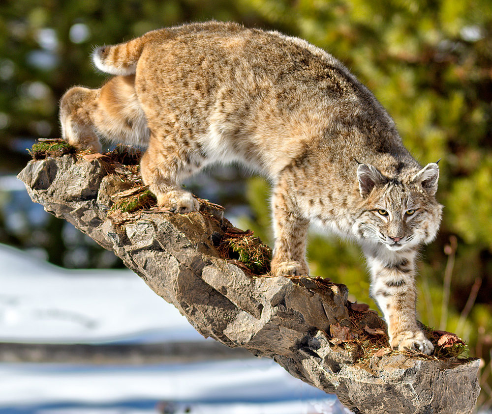 Walking downhill bobcat