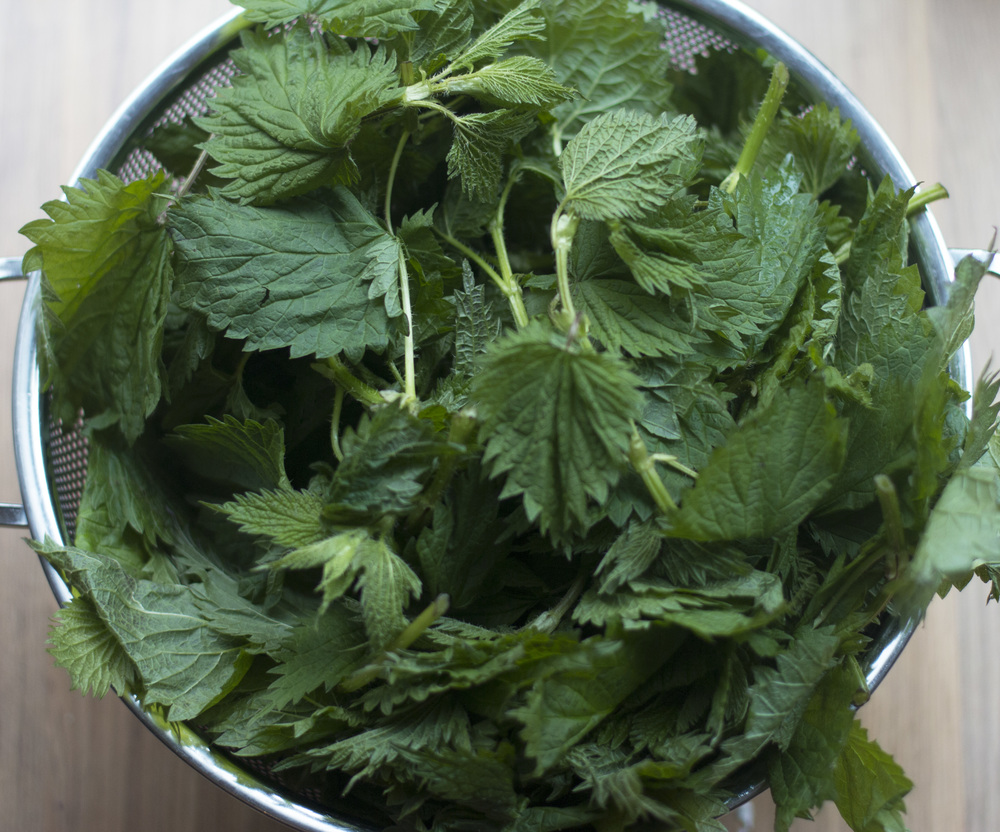 Remove the leaves from the stems while wearing long sleeves and rubber gloves to protect your arms and hands. Add just the leaves to a large pot of boiling water. Boil 3-4 minutes, until bright green and wilted. Now you can eat nettles without fear!