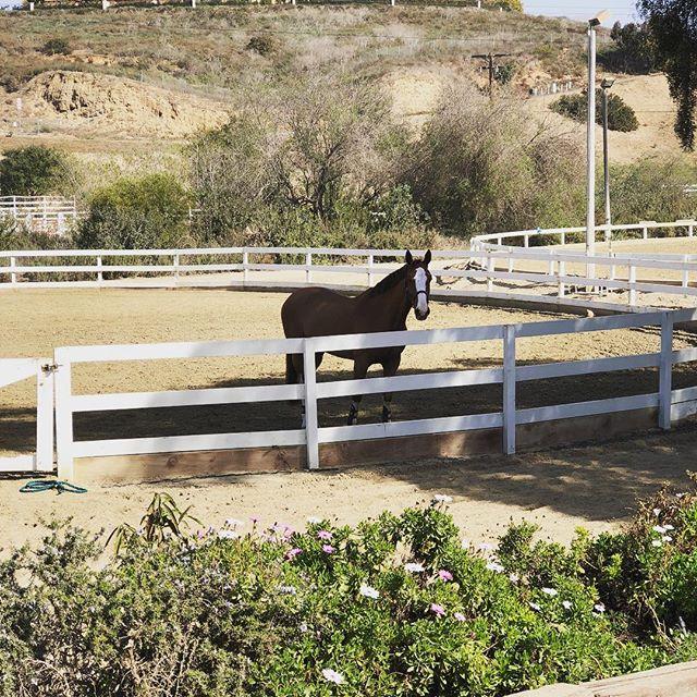 Lazy Sundays 🌸☀️ . . #sundayvibes #horsesofinstagram #animalsofinstagram #equestrian #showjumper #horseblogger