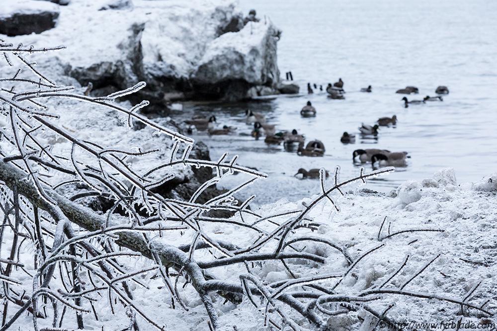 Frozen-Tree-Ducks.jpg