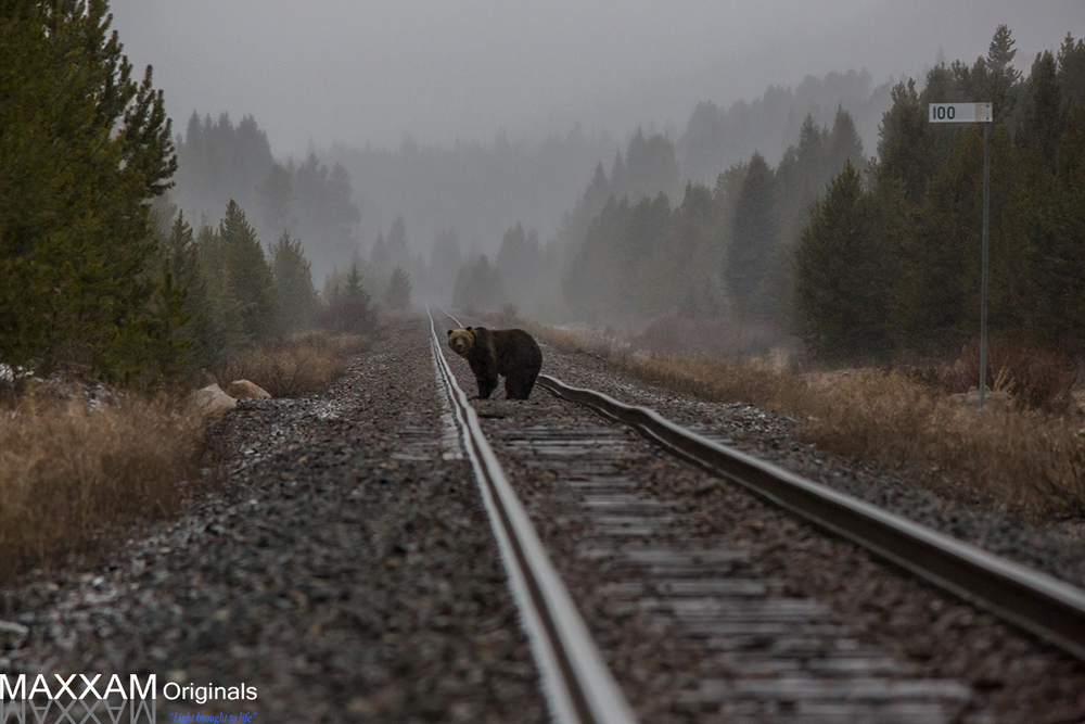 A grizzly bear shows some interest in me as I follow him along the tracks.