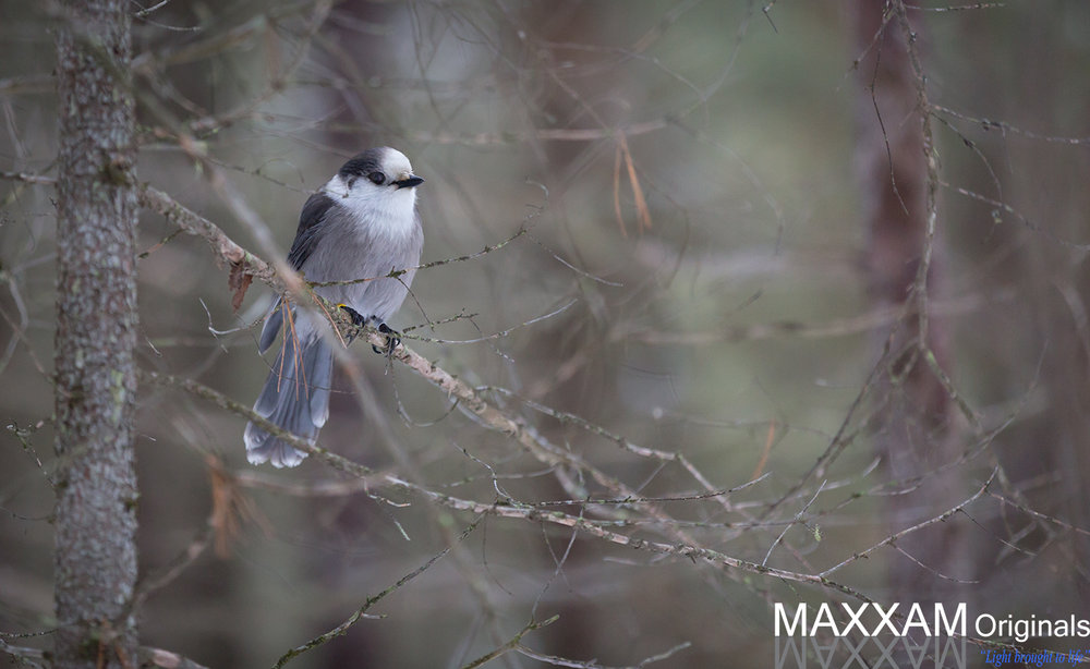A gray jay watching thoughtfully.