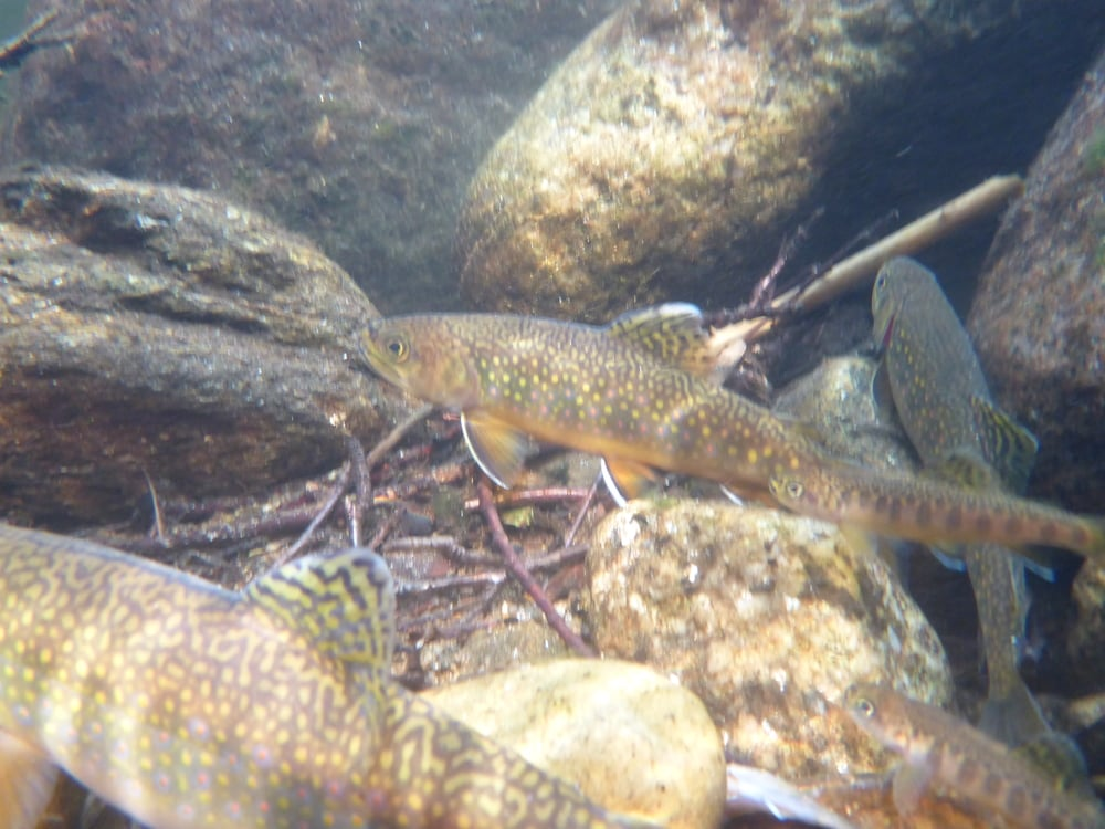 Wild brook trout just after release.