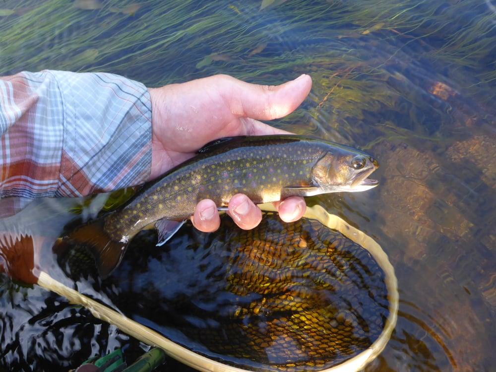 Spring creek brook trout.