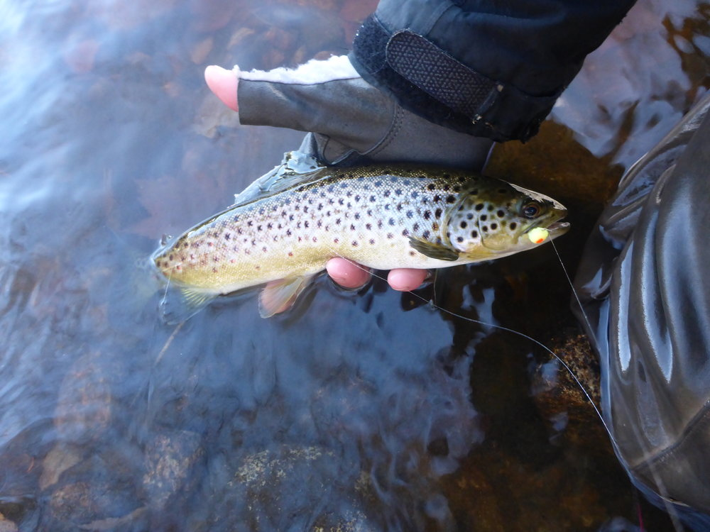 Even brown trout like brown trout eggs.