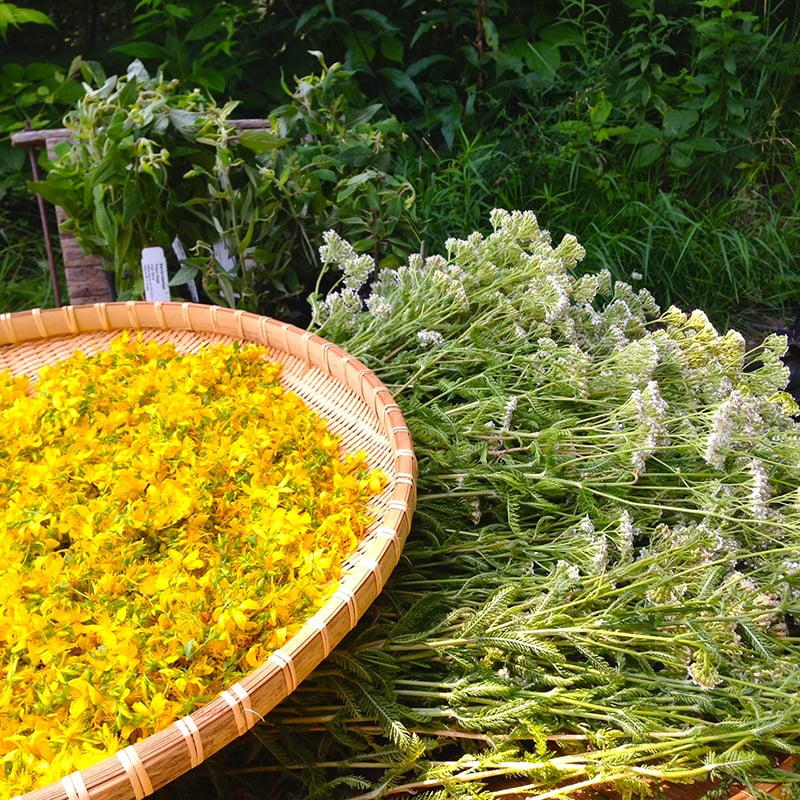 st johns wort and yarrow harvest.jpg