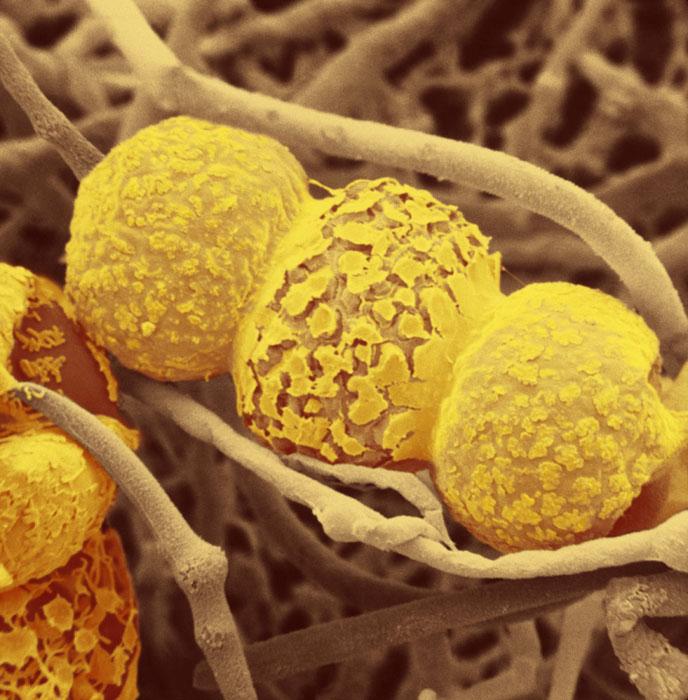 Rhizopus Sexualis Fungi