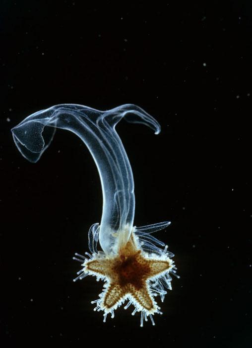 Long-armed Starfish