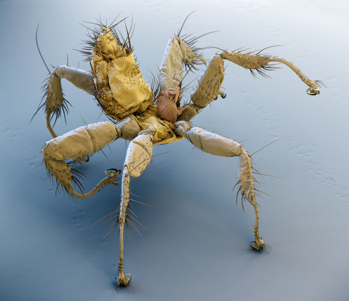 Parasitic Bat Fly