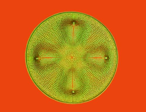 Marine Diatom