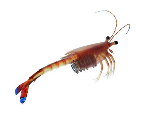 Cambrian Crustacean
