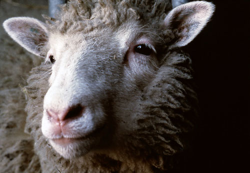 Dolly, Sheep Clone