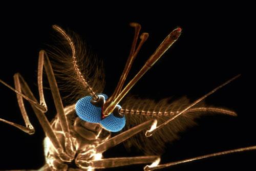 Mosquito SEM