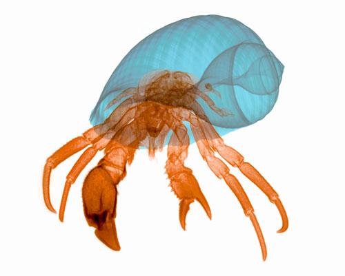Hermit Crab X-ray