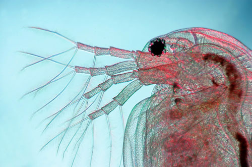 Water Flea (Daphnia magna)