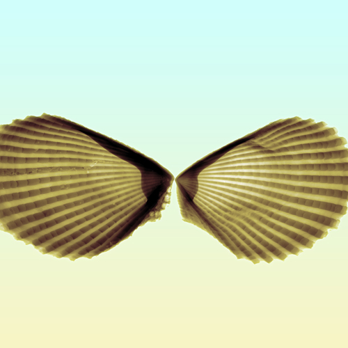 Sea Shell X-ray