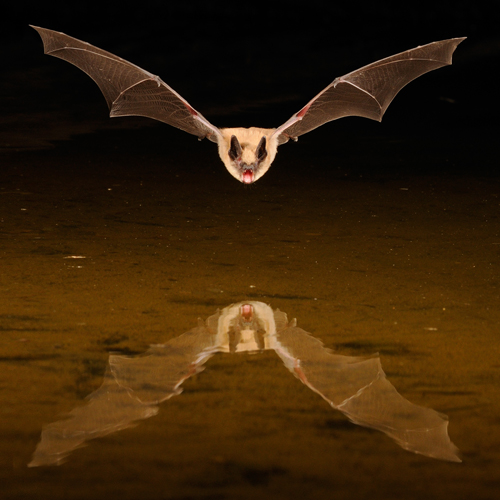 Brown Bat and Reflection