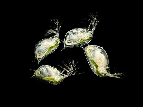 Freshwater Fleas (Daphnia sp.)