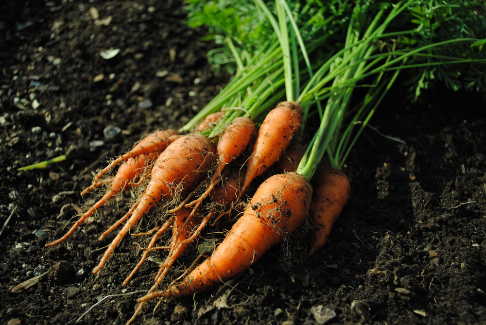 Carrot harvest early fall. #carrots #firstdayofautumn #autumn #harvest #rootvegetables