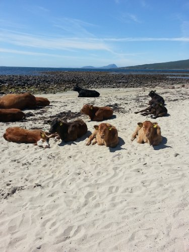 Cows sunbathe on the beach near Mulranny Golf Club in happier times. Picture by Claire McManamon via http://www.dailyedge.ie/