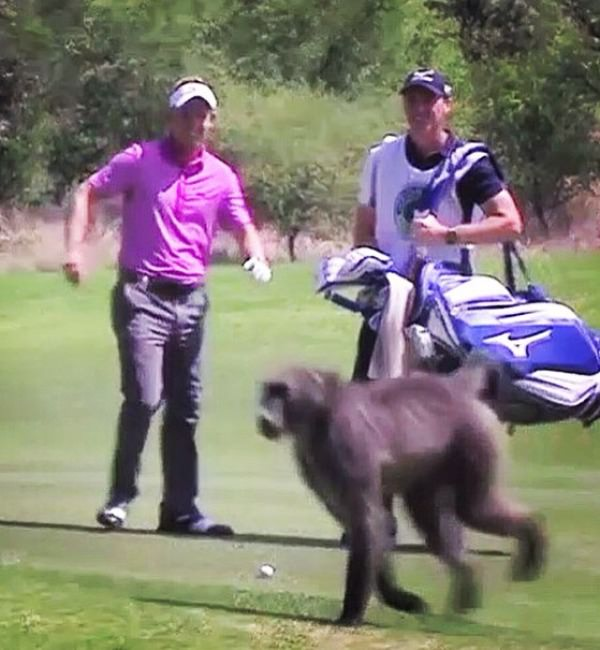 Luke Donald had to take evasive action to let a baboon play through