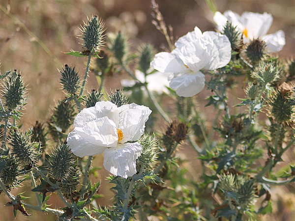 white prickly poppy
