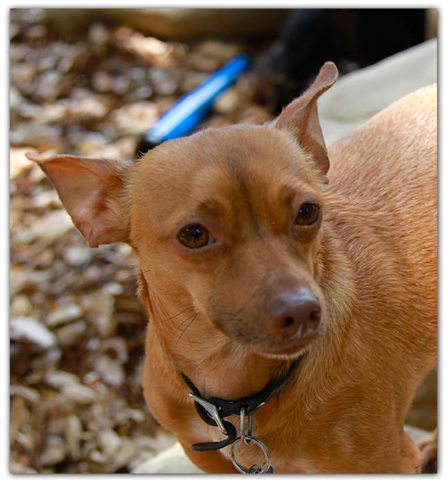 Chihuahua - Original Photo