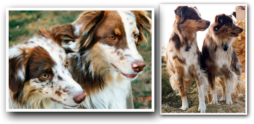 Original    Red Merle Australian Shepherds  artist  Photos