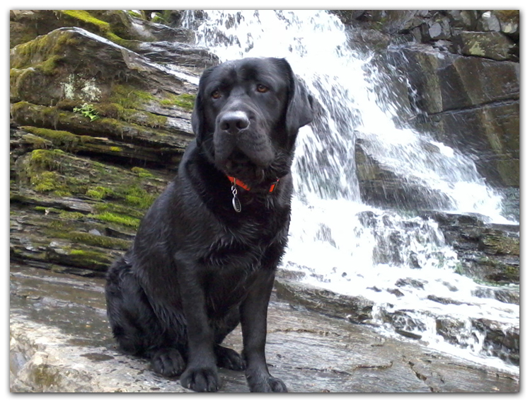 labrador dog photo