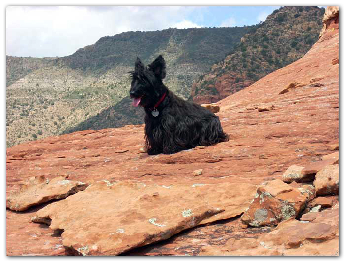 scottish terrier photo
