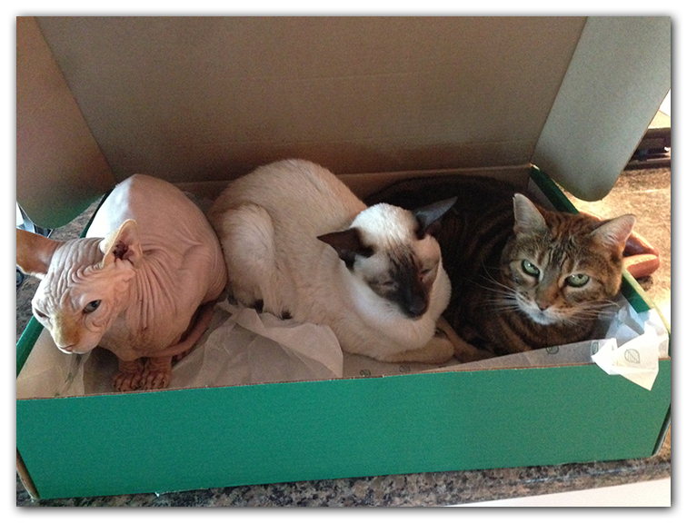 three cats in box photo