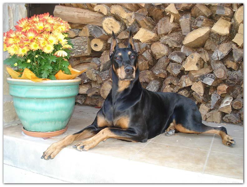 Doberman Pinscher artist photo