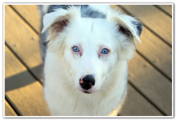 Red Merle Australian Shepherds Artist Photo
