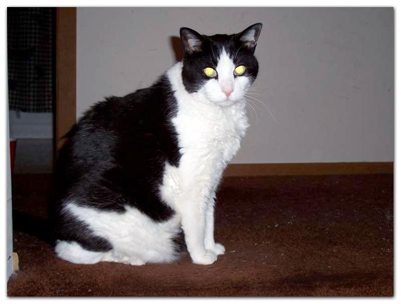 tuxedo cat artist photo