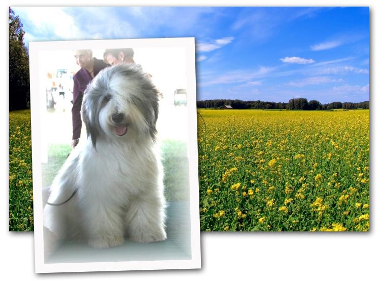Sheepdog artist photos