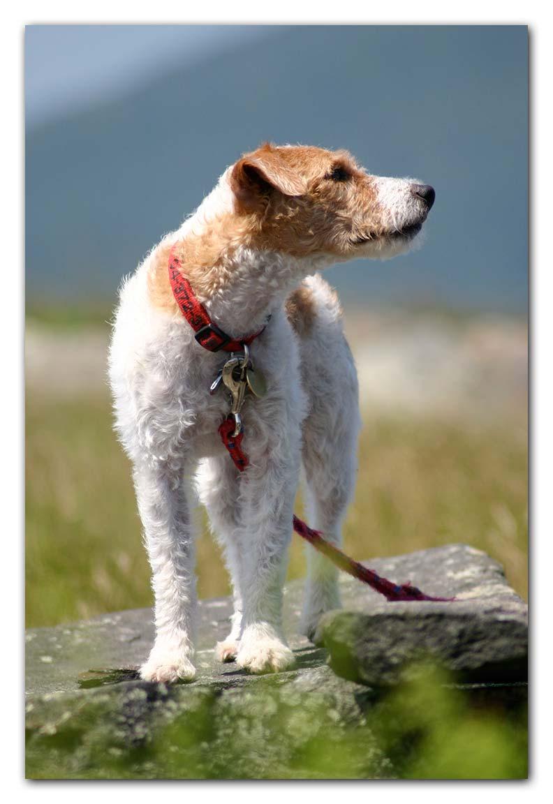 Jack Russel Terrier photo