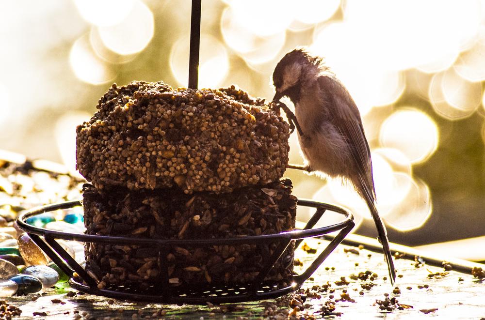 Black-capped chickadee, Henrietta Township, Minnesota, 8-19-16