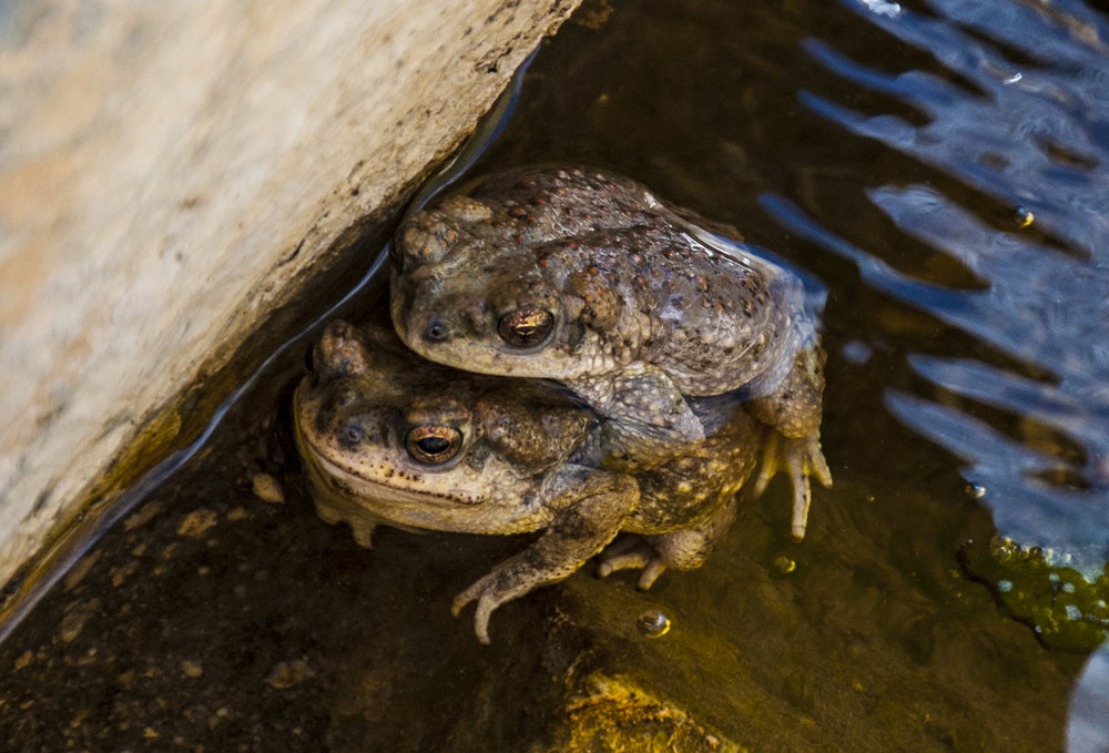 Arizona toads