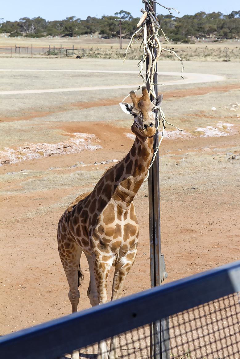 Monarto Zoo Wedding giraffe