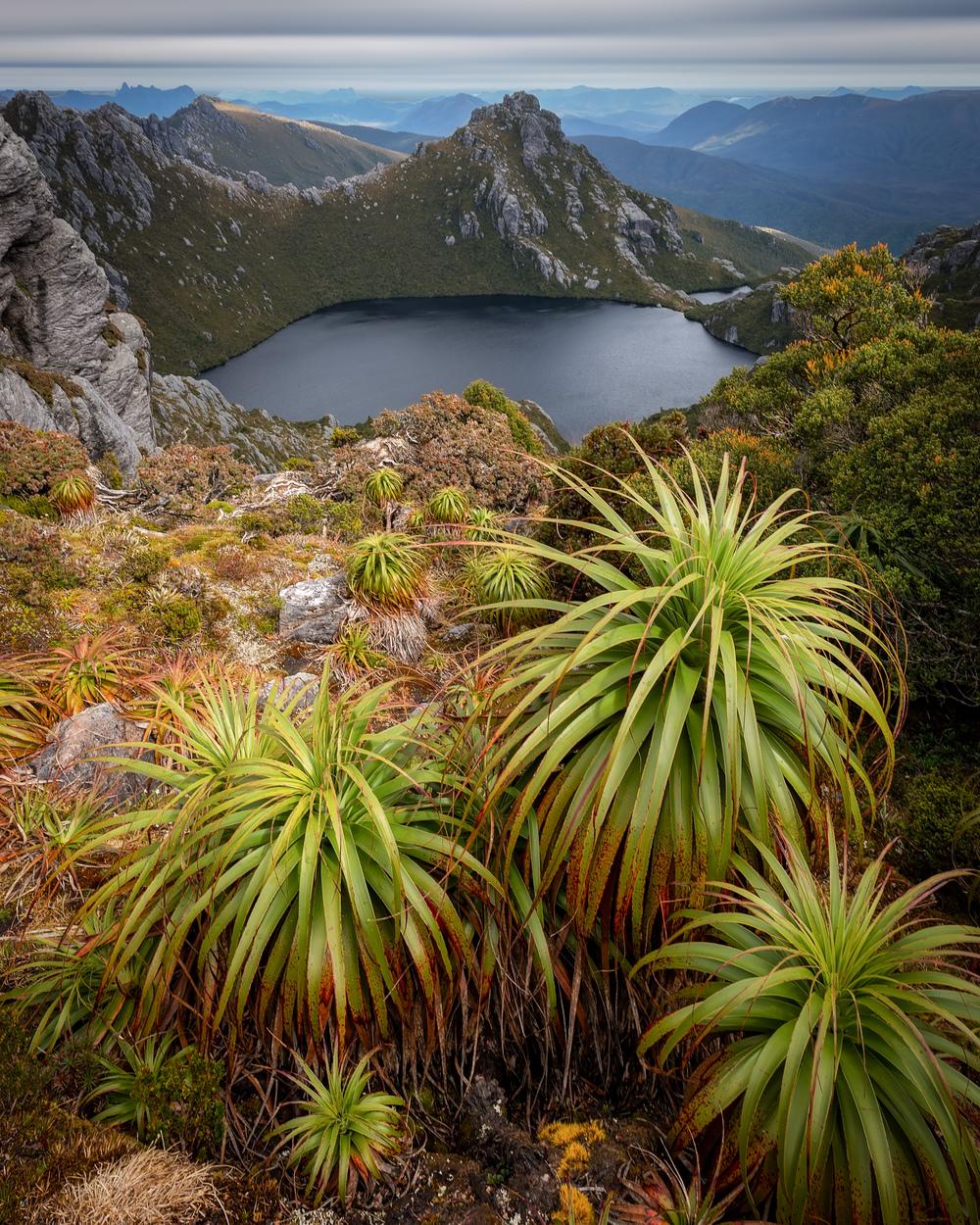 Oberon pandanus - Tasmania - Wilkography.jpg