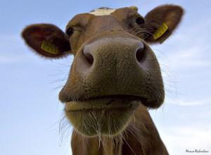 cows-300x220.jpg