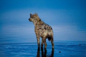 hyena-300x199.jpg